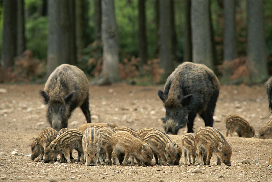 Animal Behavior Photograph - A Group Of Young Wild Boars Nose by Norbert Rosing