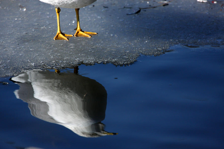 Seagull Photograph - A Gull Reflects by Karol Livote