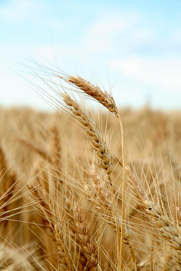 Wheat Photograph - A Head Taller by Andrew Dyer Photography