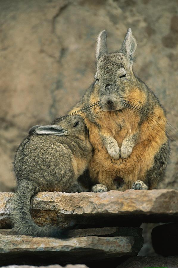 Animals Photograph - A Herbivorous Viscacha Nurses Her Baby by Joel Sartore