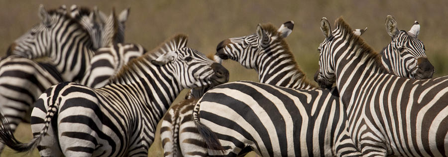 No People Photograph - A Herd Of Zebra Stand In A Plain by Ralph Lee Hopkins