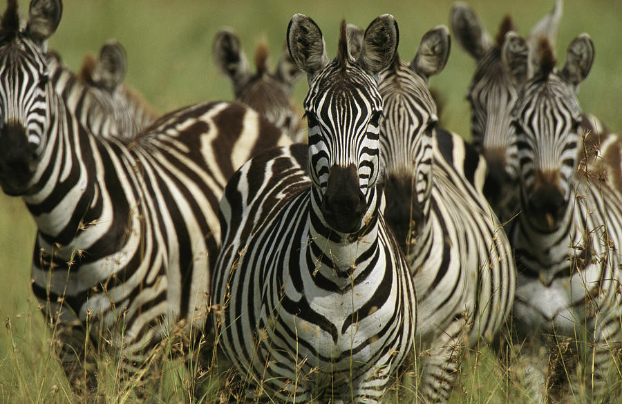 Africa Photograph - A Herd Of Zebras Standing Alert by Michael Melford