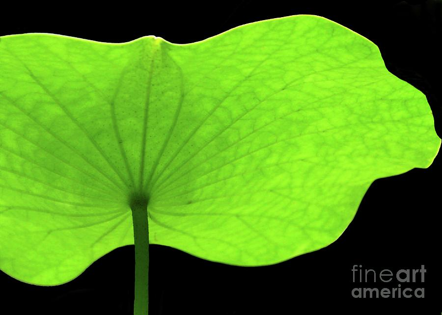 Green Photograph - A Huge Green Lotus Leaf by Sabrina L Ryan