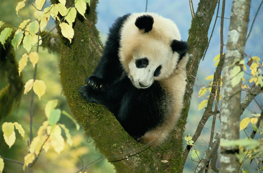 Color Image Photograph - A Juvenile Giant Panda by Lu Zhi