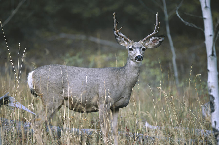 Anatomy Photograph - A Large Antlered White-tailed Deer by Melissa Farlow