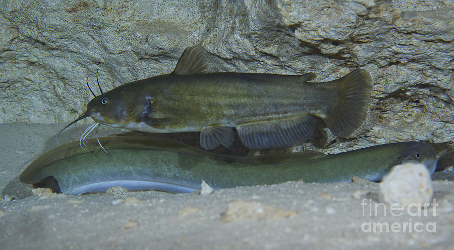 Fish Photograph - A Large Brown Bullhead Catfish  Boldly by Terry Moore