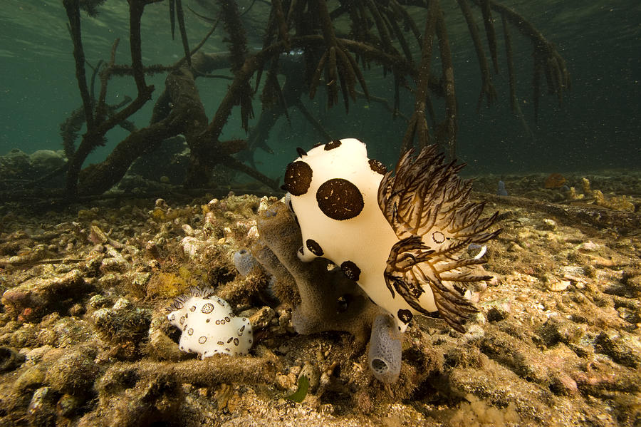 Kosrae Island Photograph - A Large Nudibranch Feeds On A Sponge by Tim Laman