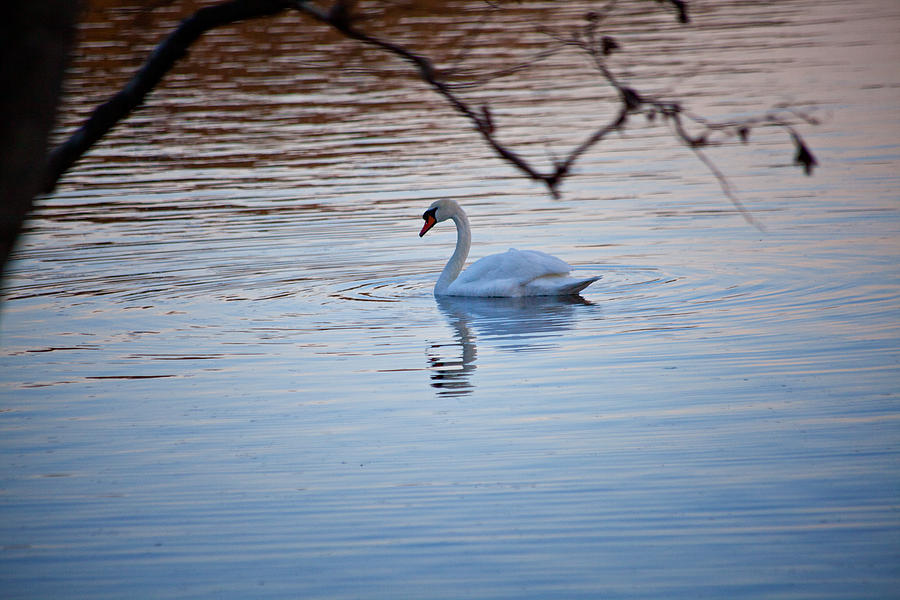 Swan Photograph - A Lonely Swans Late Afternoon by Karol Livote