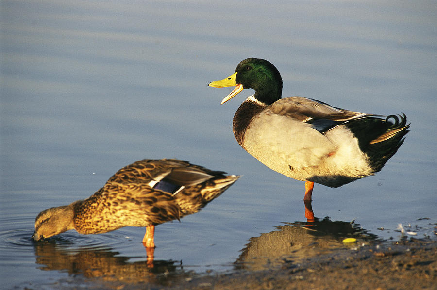 North America Photograph - A Male And Female Mallard Duck by Rich Reid