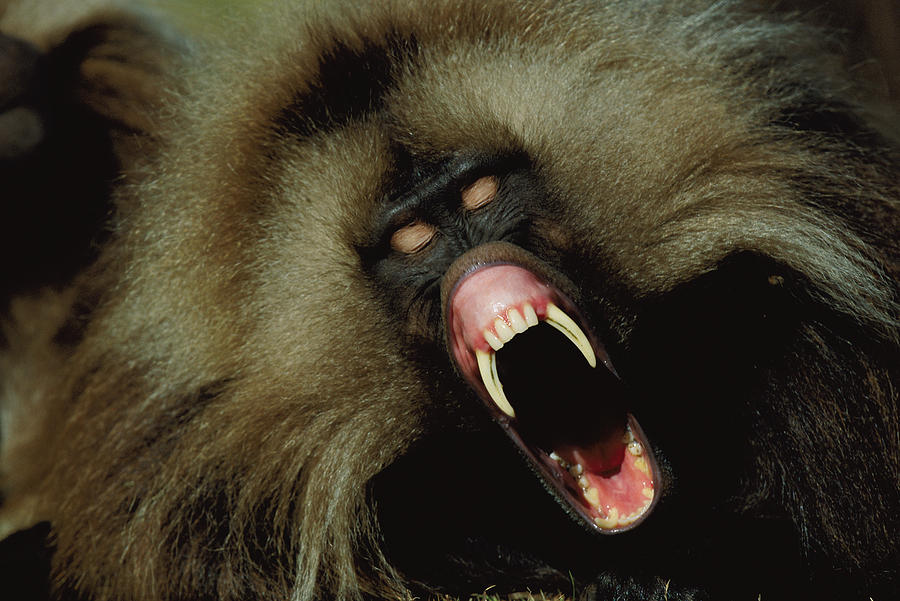 Outdoors Photograph - A Male Gelada Baboon Bares His Fangs by Michael Nichols