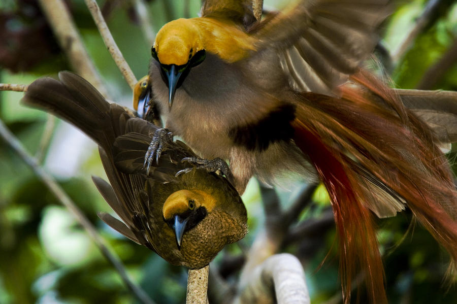 A Male Goldies Bird Of Paradise Mates Photograph By Tim Laman
