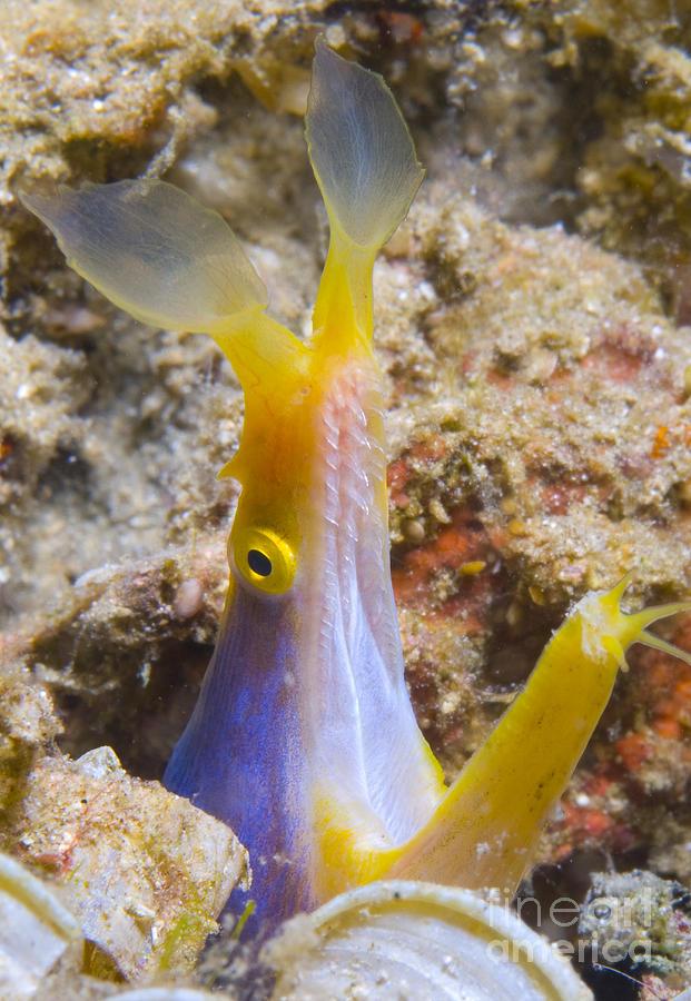 Fish Photograph - A Male Ribbon Eel Peering by Steve Jones