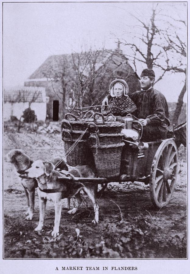 History Photograph - A Market Team In Flanders. Two Dogs by Everett