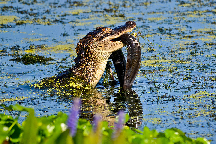 Alligator Photograph - A Meal Fit For A Gator by Julio n Brenda JnB