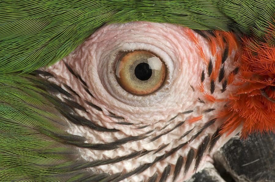 Photography Photograph - A Military Macaw Ara Ambiguus by Joel Sartore