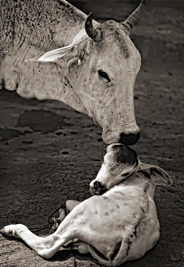 Cow Photograph - A Mothers Love Monochrome by Steve Harrington