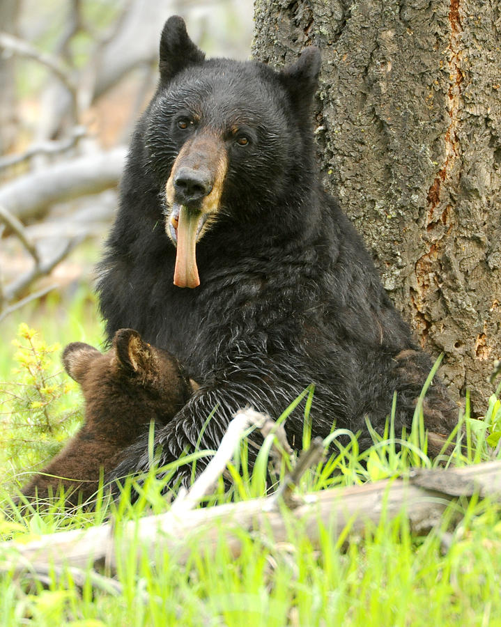 Black Bear Photograph - A Mothers Work by Amy Gerber