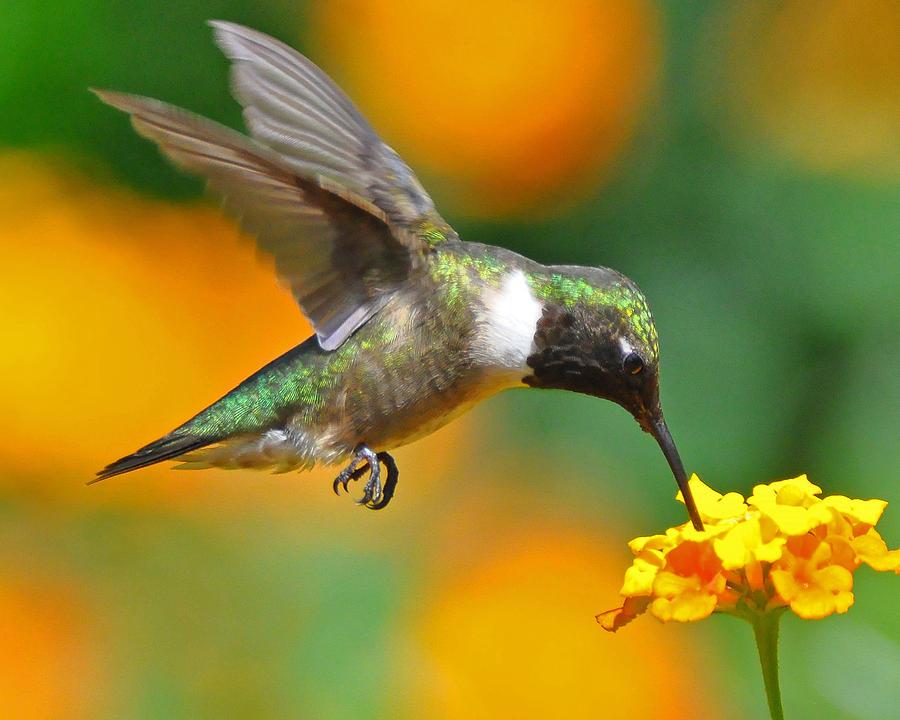 Hummingbird Photograph - A Nice Hummer by Jessie Dickson