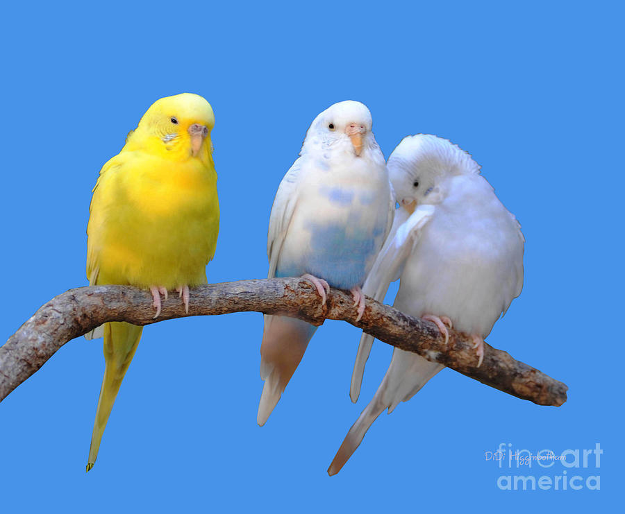 Parakeet Photograph - A Pair And A Spare by DiDi Higginbotham