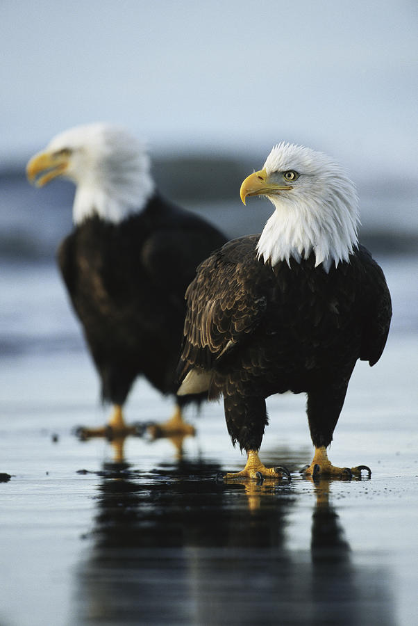 Animals Photograph - A Pair Of American Bald Eagles Stand by Klaus Nigge