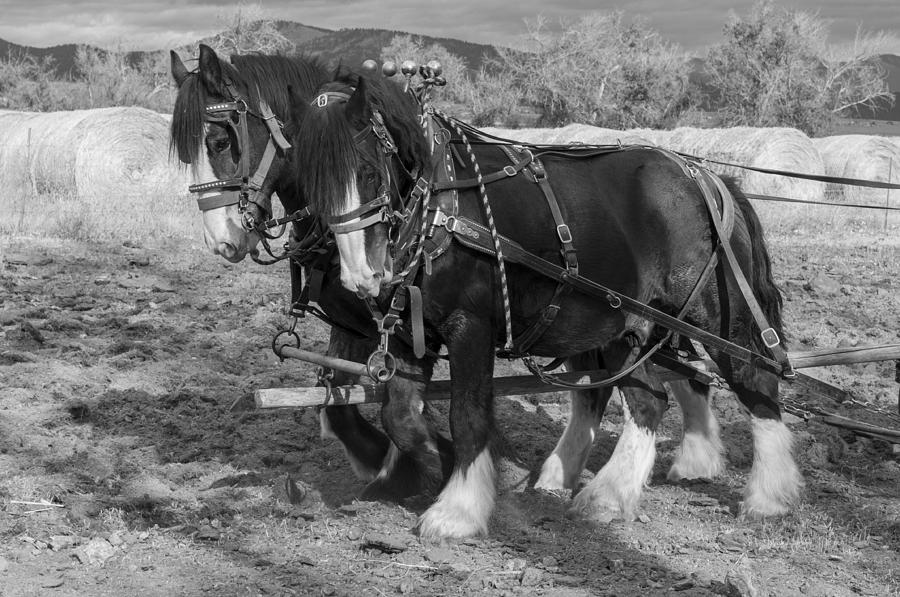 Shire Photograph - A Pair Of Shire Horses by Fran Riley
