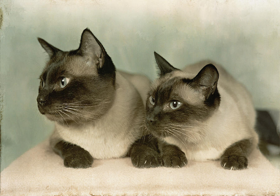 Portraits Photograph - A Pair Of Siamese Cats by Willard Culver