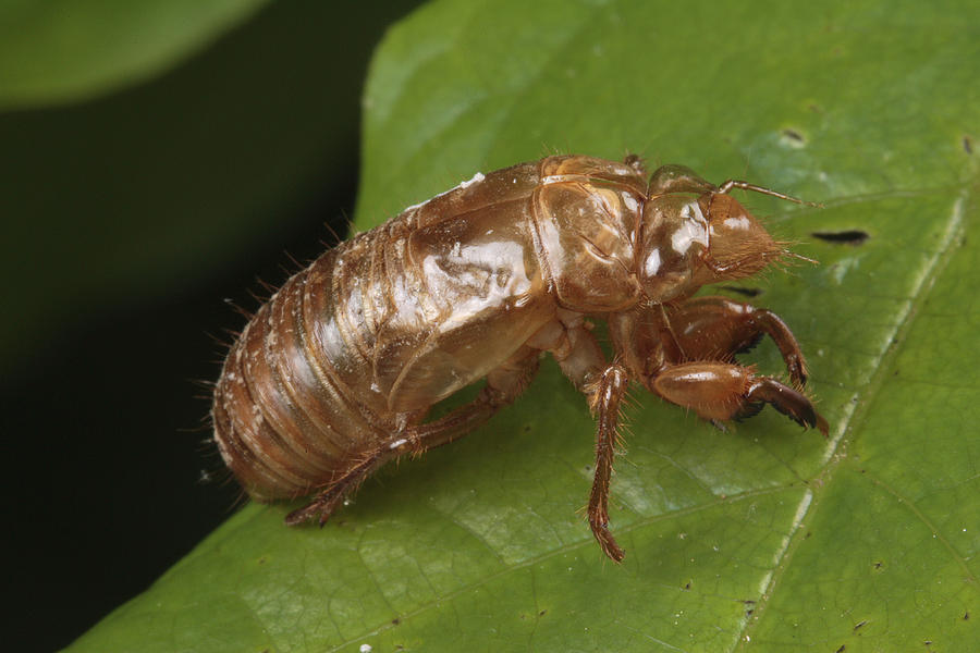 Maryland Photograph - A Periodical Cicada Exoskeleton by George Grall