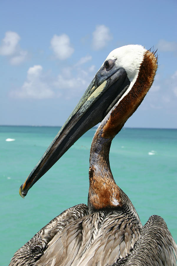 North America Photograph - A Personable Pelican Portrait by Stephen St. John