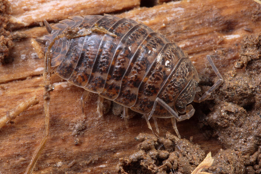 A Pillbug Feeding On Detritus Photograph By George Grall