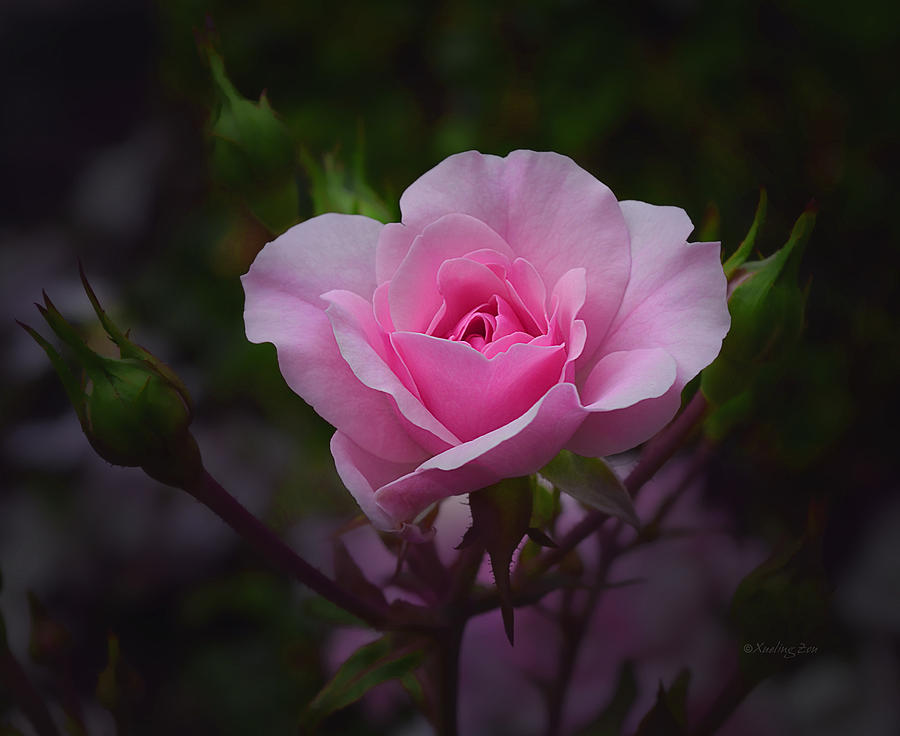 Roses Photograph - A Pink Rose by Xueling Zou
