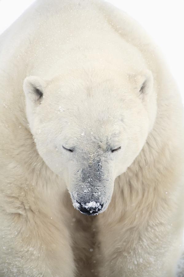 Bear Photograph - A Polar Bear Ursus Maritimus Resting by Richard Wear