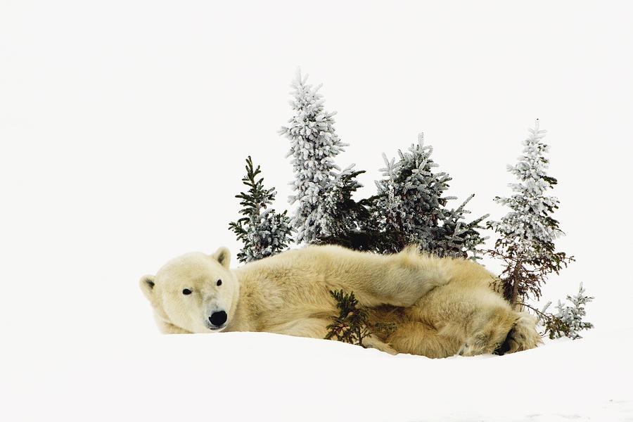 Bear Photograph - A Polar Bear Ursus Maritimus by Richard Wear