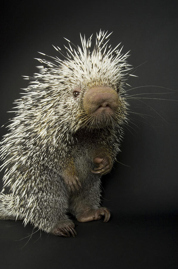 Zoo Photograph - A Prehensile-tailed Porcupine Coendou by Joel Sartore