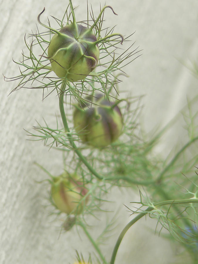 Nigella Photograph - A Promise Of Love  by Pamela Patch