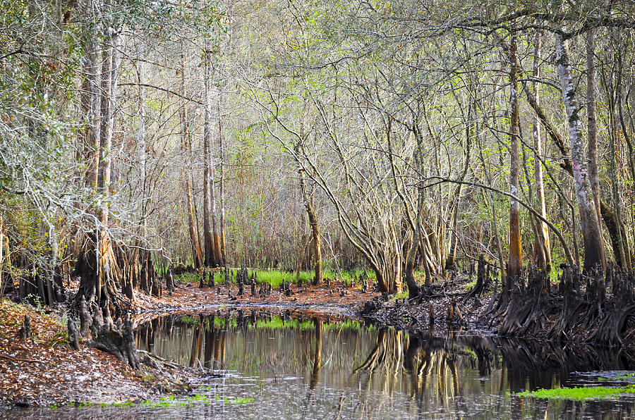 Cypress Trees Photograph - A Quiet Back Woods Place by Carolyn Marshall