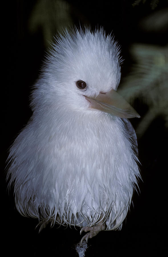 Rare Photograph - A Rare Albino Kookaburra With White by Jason Edwards