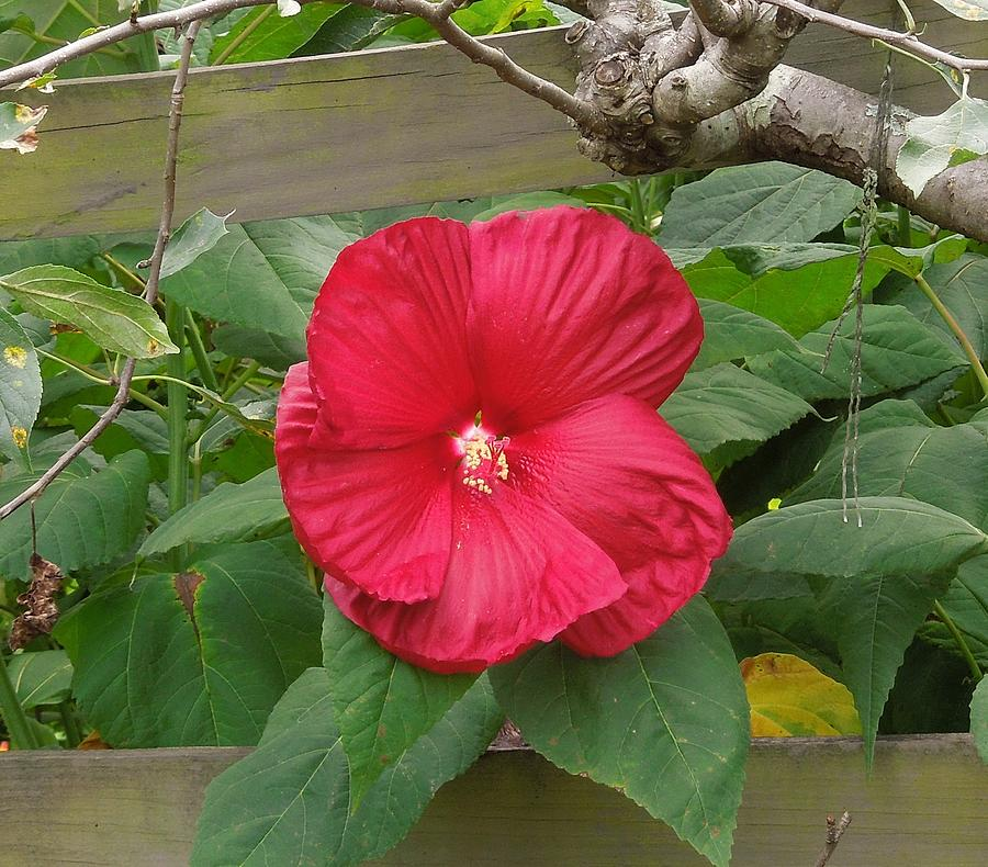 Red Photograph - A Red Hibiscus by Chad and Stacey Hall
