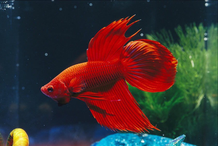 Australia Photograph - A Red Siamese Fighting Fish In An by Jason Edwards