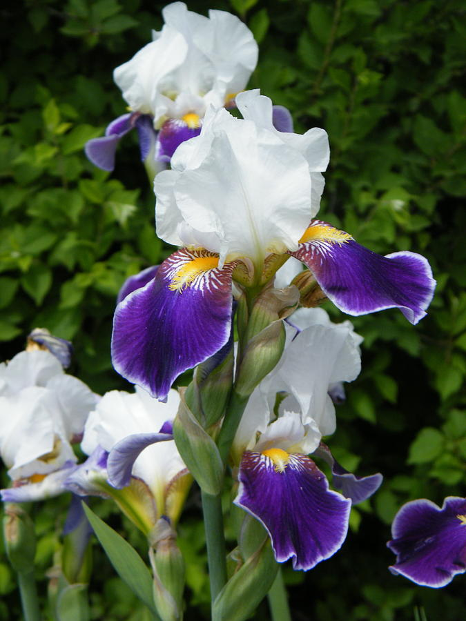 Iris Photograph - A Religious Feeling Via Iris Blossoms by Mary Sedivy