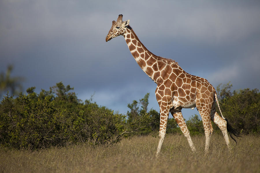 Reticulated Giraffe Strolls Photograph Robin Moore