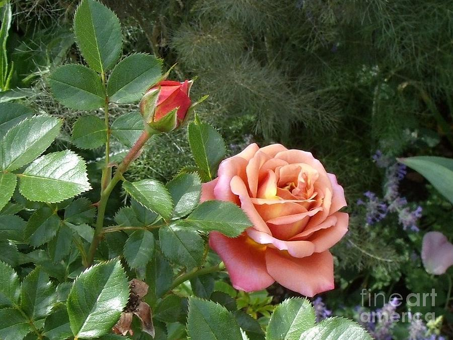 Pink Rose Photograph - A Rose By Any Other Name by Donna Parlow