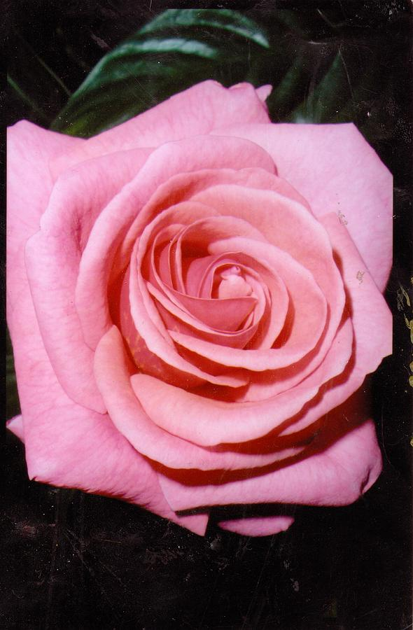 Rose Photograph - A Rose By Any Other Name Would Still Smell Just As Sweet by Anne-Elizabeth Whiteway