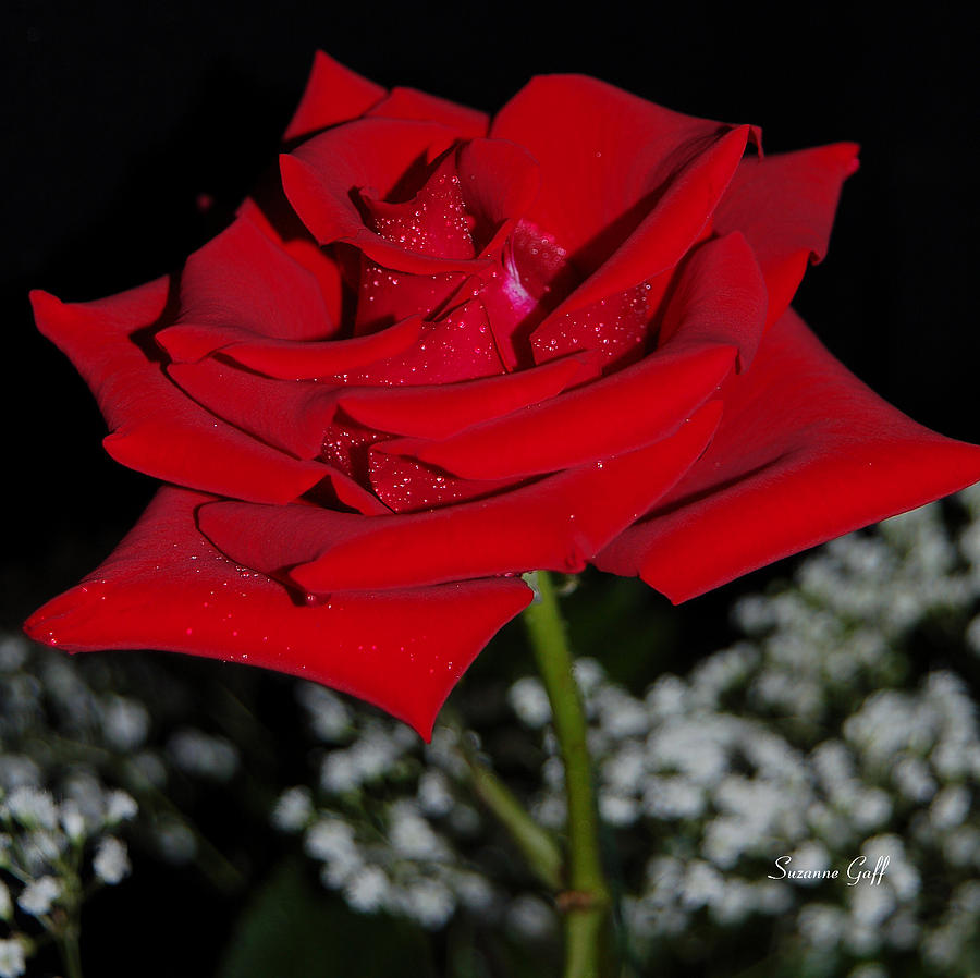 Rose Photograph - A Rose For Suzanne by Suzanne Gaff