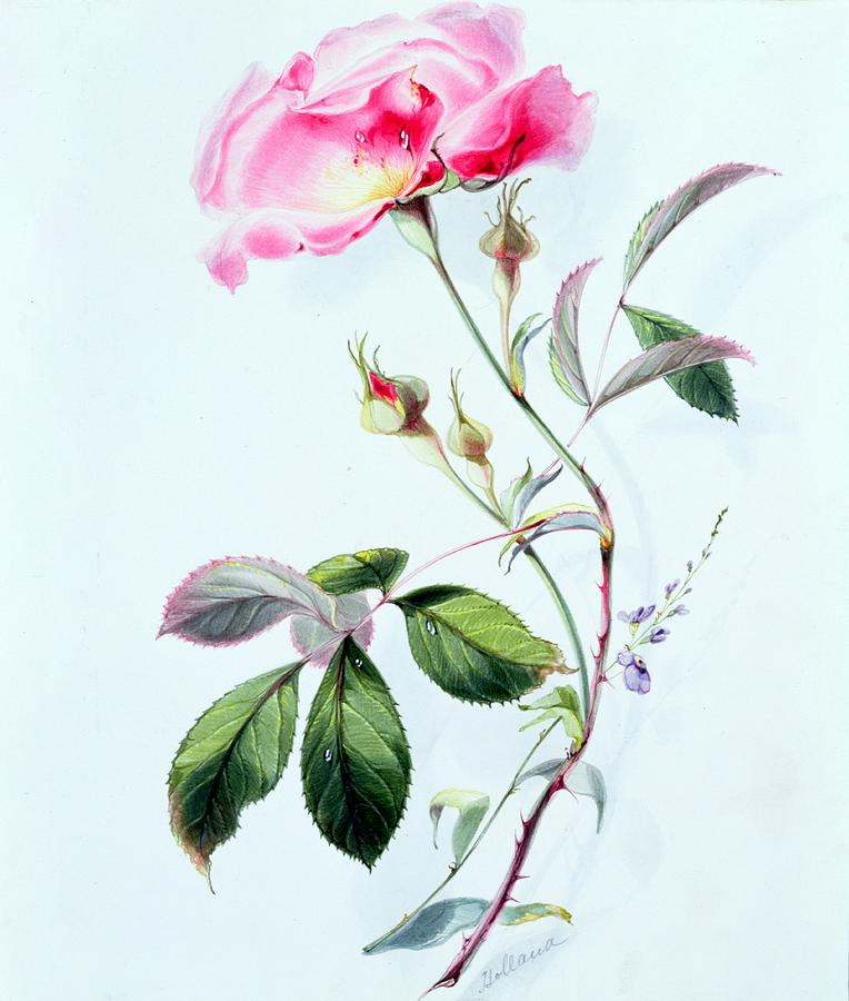 Flowers Painting - A Rose by James Holland
