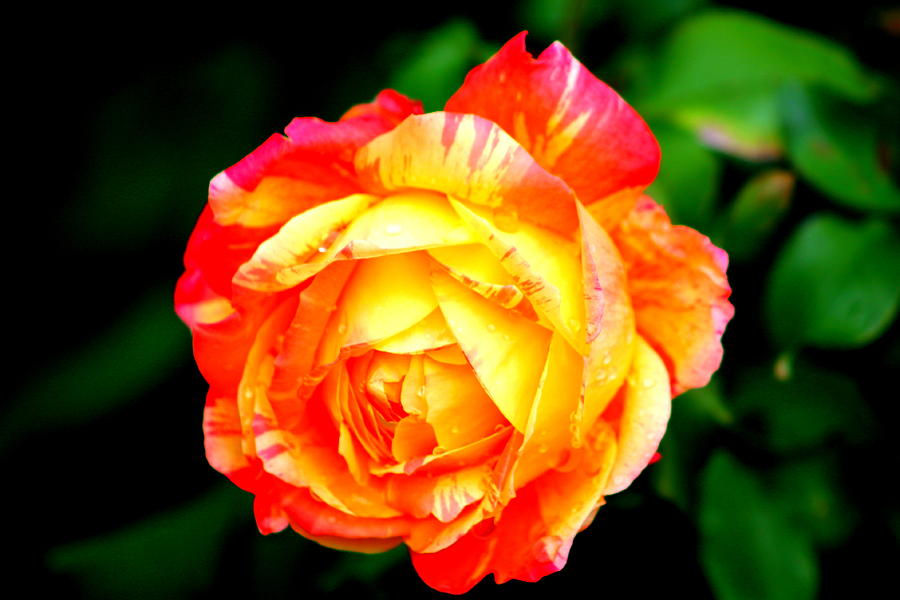 Rose Photograph - A Rose by Jose Lopez