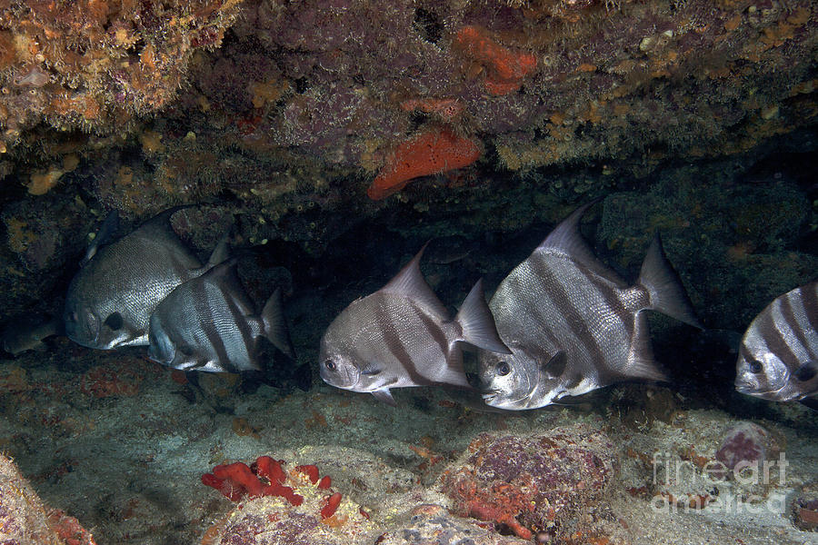 Fish Photograph - A School Of Atlantic Spadefish by Terry Moore