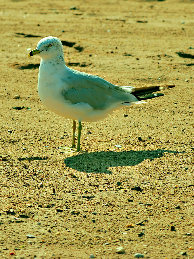 Seagull Photograph - A Seagull And His Shadow by Michelle Cruz