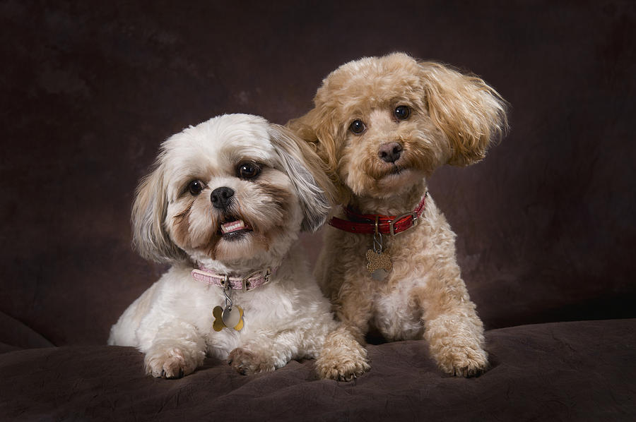 Black Background Photograph - A Shihtzu And A Poodle On A Brown by Corey Hochachka
