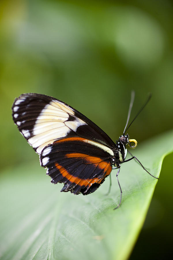 Blue And White Longwing Photograph - A Side View Of A Butterfly by Taylor S. Kennedy