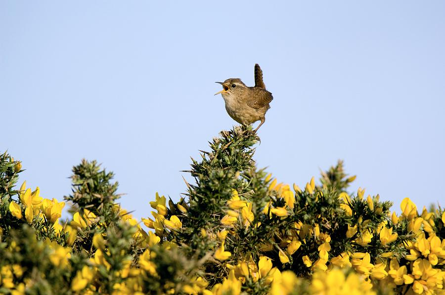 Wrens Photograph - A Singing Wren by Duncan Shaw